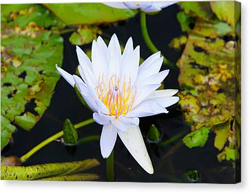 Water Lily With Lily Pads In A Pond Canvas Print by Panoramic Images