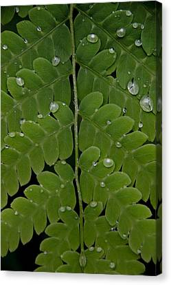 Water On Fern  Canvas Print