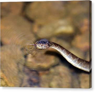 Water Snake Canvas Print by Susan Leggett