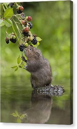 Water Vole Eating Blackberries Kent Uk Canvas Print