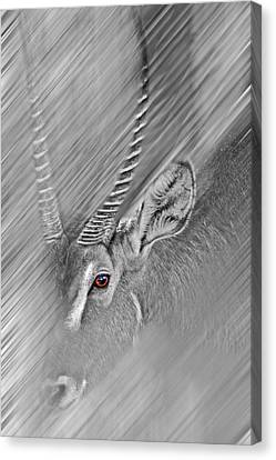Waterbuck Canvas Print