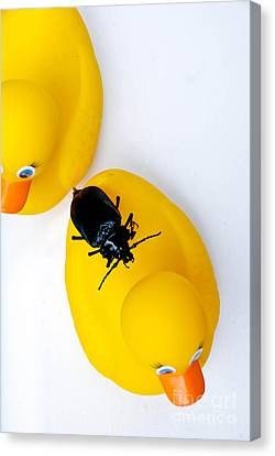 Perched Canvas Print - Waterbug On Rubber Duck - Aerial View by Amy Cicconi