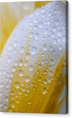Waterdrops On Tulip Canvas Print by Robert Camp