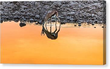 Waterhole Sunset - Springbok Antelope Photograph Canvas Print by Duane Miller