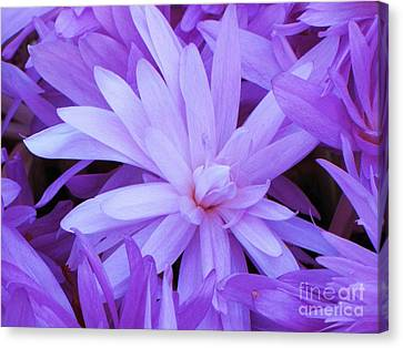 Waterlily Crocus Canvas Print by Michele Penner
