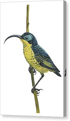 Wattled False Sunbird Canvas Print by Anonymous