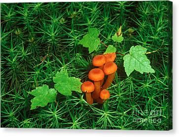 Wax Cap Fungi Canvas Print by Jeff Lepore