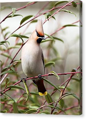Waxwing Canvas Print by Grant Glendinning