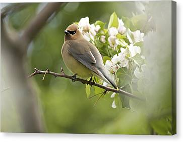 Waxwing In A Dream Canvas Print by Penny Meyers