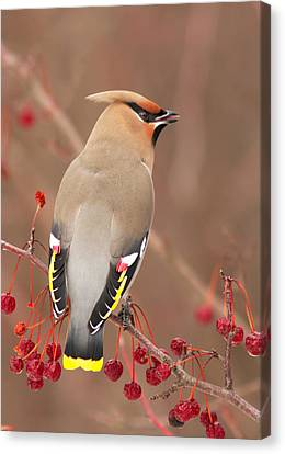 Waxwing In Winter Canvas Print by Mircea Costina Photography