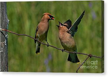 Waxwing Love.. Canvas Print by Nina Stavlund