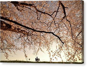 Cherry Blossoms Canvas Print - Way Back by