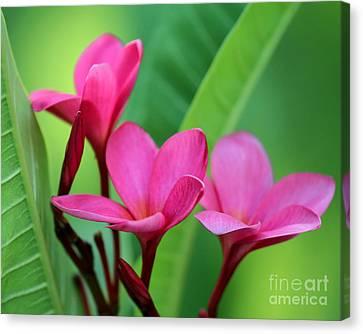 Fuschia Canvas Print - We Three Plumeria by Sabrina L Ryan