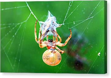 Weaving Orb Spider Canvas Print by Candice Trimble