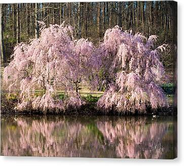 Weeping Cherry Trees Canvas Print by Jack Nevitt