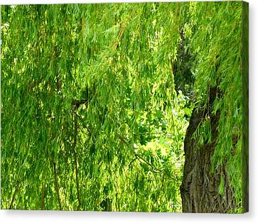 Weeping Willow Green Canvas Print by Will Borden