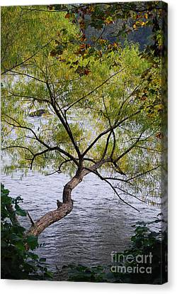 Weeping Willow Canvas Print by Skip Willits
