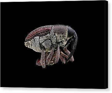 Weevil Canvas Print by Us Geological Survey