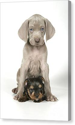 Weimaraner And Yorkie Puppies Canvas Print by John Daniels