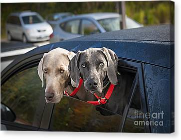 Weimaraner Dogs In Car Canvas Print by Elena Elisseeva