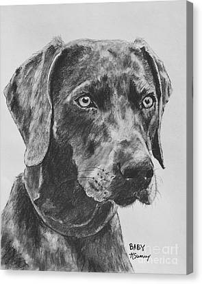 Weimaraner Drawn In Charcoal Canvas Print by Kate Sumners