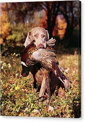 Weimaraner Canvas Print - Weimaraner Hunting Dog Retrieving Ring by Vintage Images