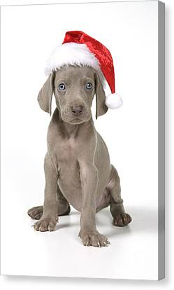 Weimaraner With Christmas Hat Canvas Print by John Daniels
