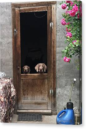 Dog At Door Canvas Print - Weimeraners Waiting... by Rebecca Martinez