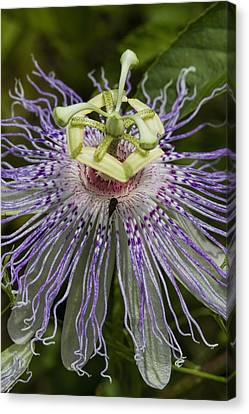 Weird And Wonderful Passion Flower Wildflower Canvas Print by Kathy Clark