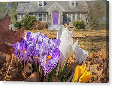 Welcome Mat Of Spring Crocuses Canvas Print by Sylvia J Zarco