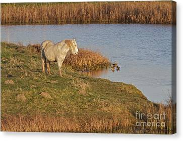 Canvas Print featuring the photograph Welsh Pony  by Gary Bridger