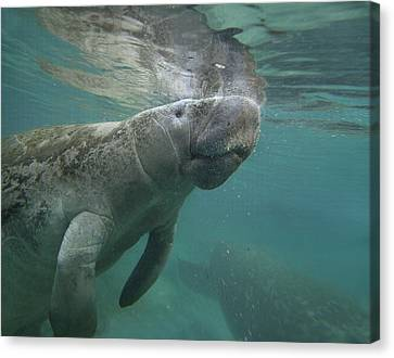 West Indian Manatee Crystal River Canvas Print by Tim Fitzharris