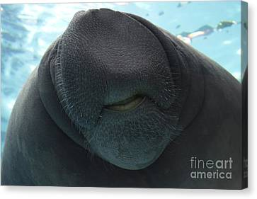West Indian Manatee Smile Canvas Print by Meg Rousher