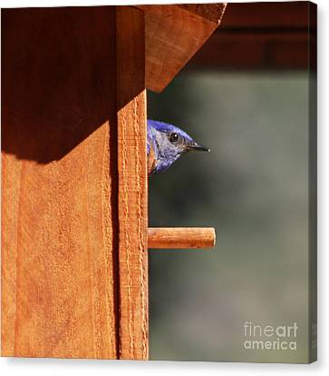 Canvas Print featuring the photograph Western Bluebird At Nest by Bob and Jan Shriner