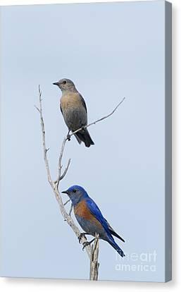 Western Bluebird Pair Canvas Print by Mike  Dawson