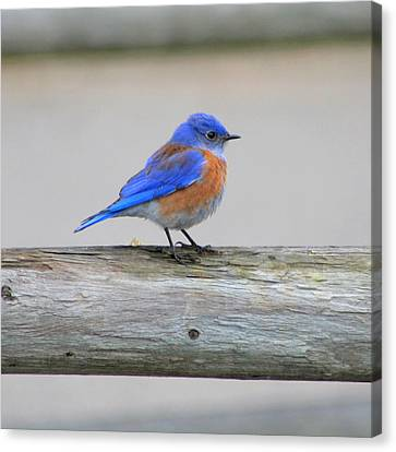 Canvas Print featuring the photograph Western Bluebird Perching by Bob and Jan Shriner