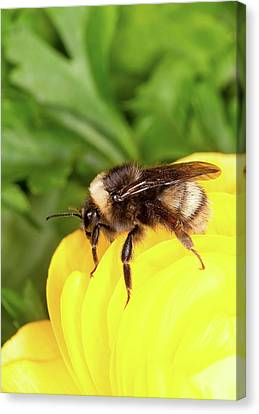 Western Bumble Bee Canvas Print by Stephen Ausmus/us Department Of Agriculture