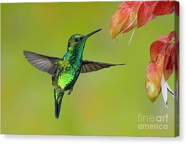 Western Emerald Hummingbird Canvas Print by Anthony Mercieca