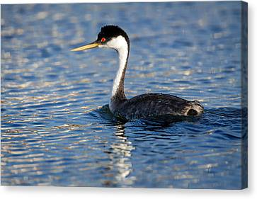 Canvas Print featuring the photograph Western Grebe by Jack Bell