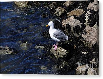 Canvas Print featuring the photograph Western Gull On Rocks by Susan Wiedmann