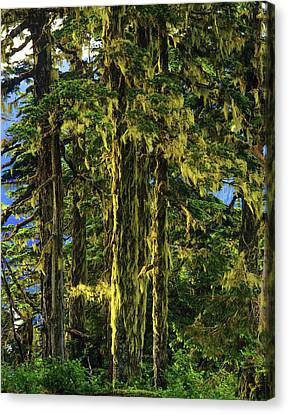 Western Hemlock And Lichen, Temperate Canvas Print by Howie Garber