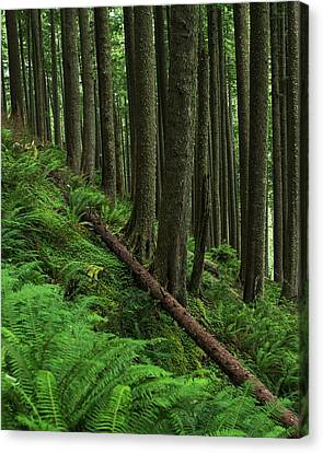 Western Hemlock Trees Grow In Oswald Canvas Print by Robert L. Potts