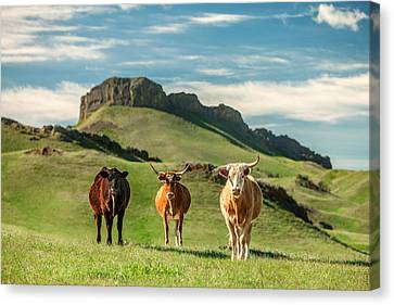 Western Longhorns Canvas Print