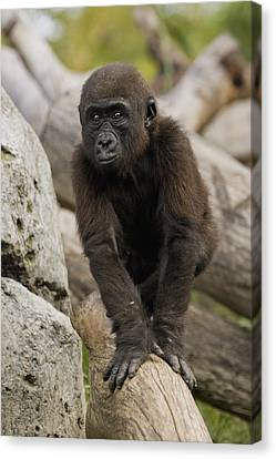 Gorilla Canvas Print - Western Lowland Gorilla Baby by San Diego Zoo