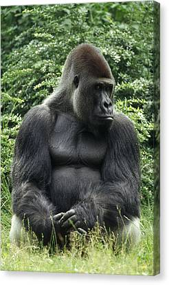 Western Lowland Gorilla Male Canvas Print by Konrad Wothe