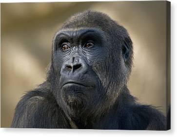 Western Lowland Gorilla Portrait Canvas Print