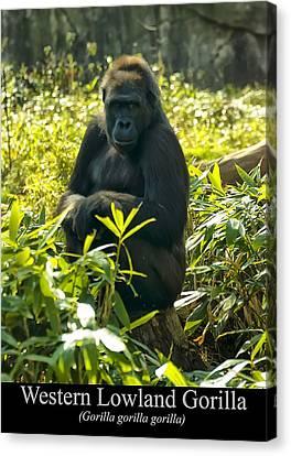 Western Lowland Gorilla Sitting On A Tree Stump Canvas Print by Chris Flees