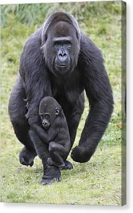 Gorilla Canvas Print - Western Lowland Gorilla Walking by Duncan Usher