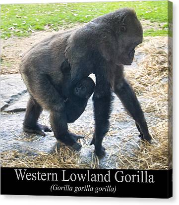 Western Lowland Gorilla With Baby Canvas Print by Chris Flees