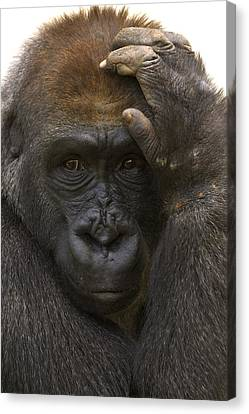 Western Lowland Gorilla With Hand Canvas Print by San Diego Zoo